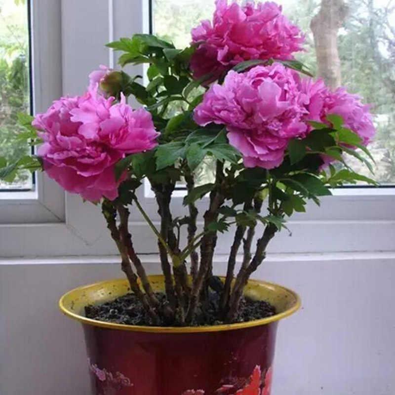 5 Peônia peônia Bonsai Raro de Látex Jardim Varanda Bonsai Bonsai Árvore Perene Jardim Em Vasos de Plantas Em Vaso Multicolor