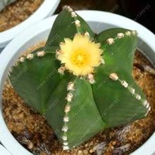 100% Real cactus seeds, Astrophytum ornatum rare succulent ,bonsai pot flower seeds, indoor plant for home garden – 10 pcs/pack