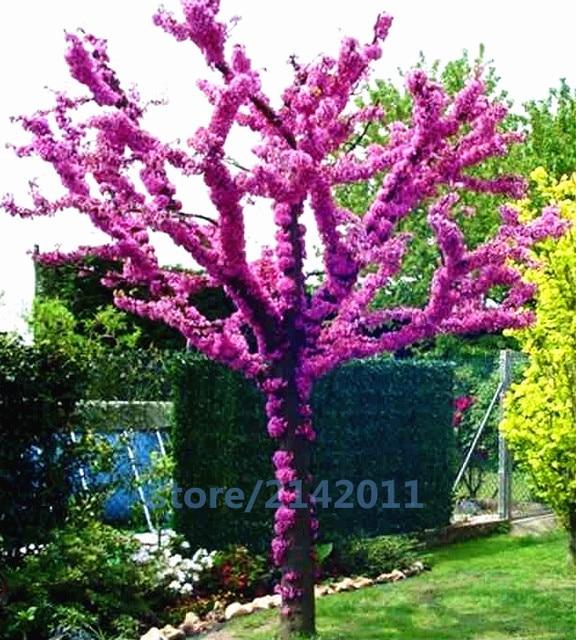 20pcs Bag Bauhinia Cercis Chinensis Bonsai Flower Chinese Redbud Tree Nature