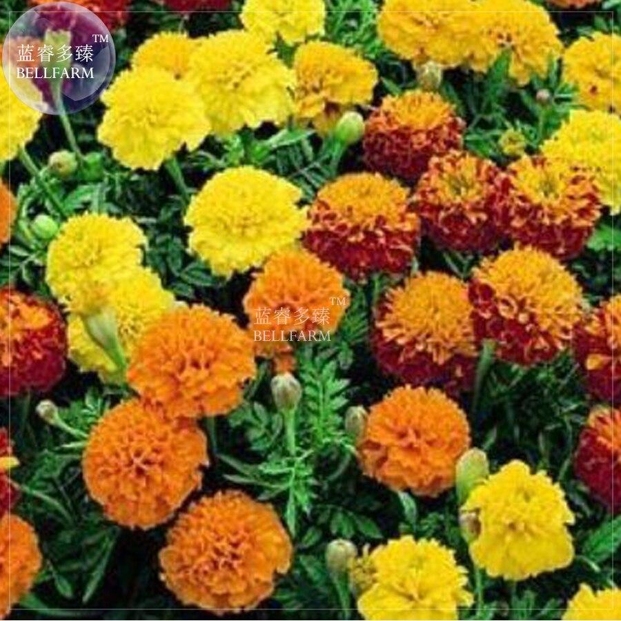 Bellfarm 100pcs Yellow Red Orange Marigold Seeds Home Garden Decor