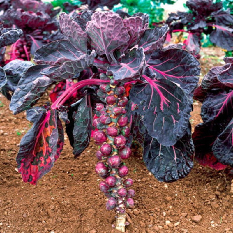 Purple Thousand-headed cabbage seeds brussels sprouts cabbage mini vegetable seeds for home garden plant - 200pcs/lot