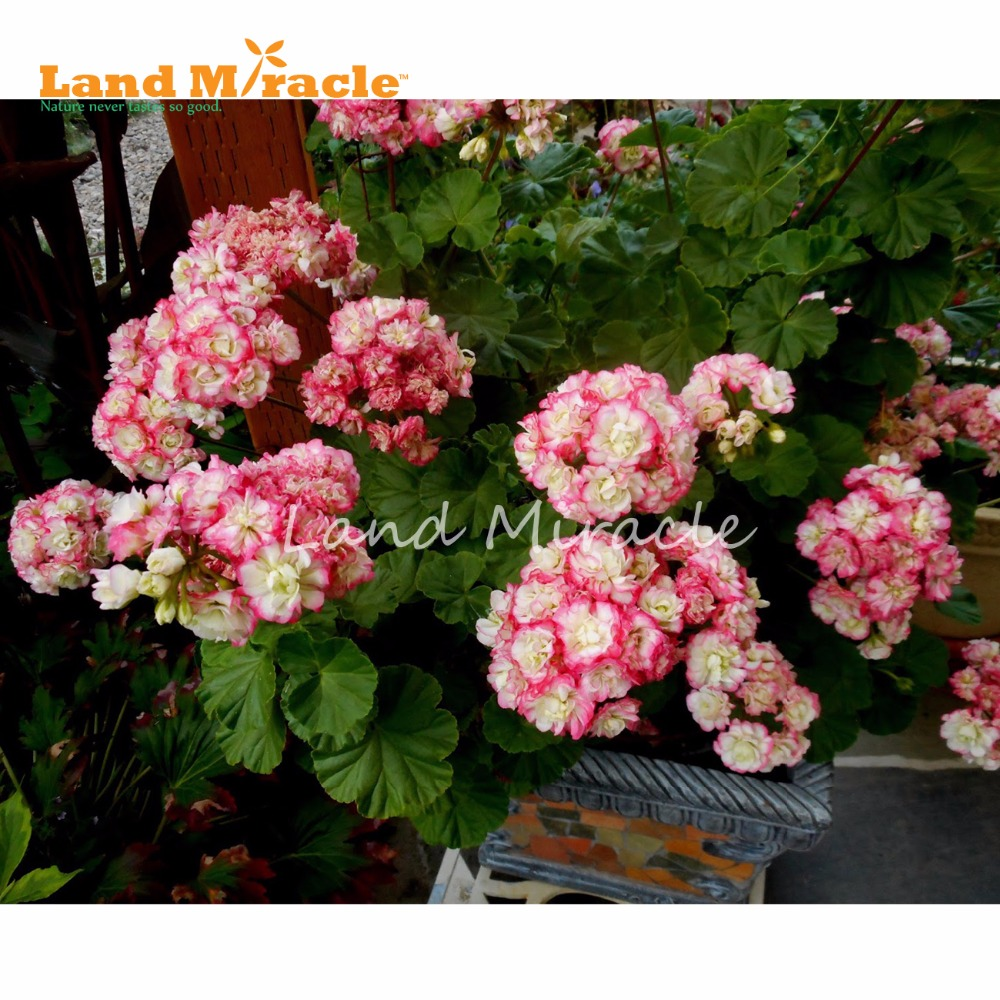 Land miracle 5pcs rare two color geranium perennial flower plant land miracle 5pcs rare two color geranium perennial flower plant pelargonium peltatum flowers for home garden mightylinksfo