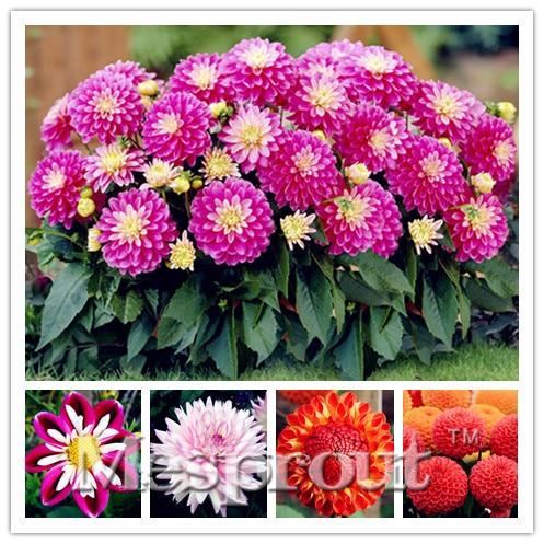 Hot Sale 50pcs Rare Dahlia Seeds Beautiful Perennial Flowers Seeds Dahlia For Diy Home Garden Free Shipping for garden plantting