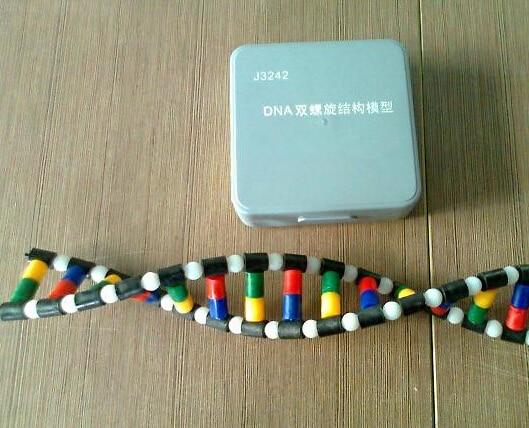 plastic DNA structure model Atomic diagram laboratory equipment