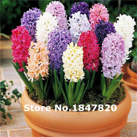 Rare Hyacinth Seeds, 10 kinds 100 Mix Colors Flower Seeds, High survival Rate for Home and Garden.