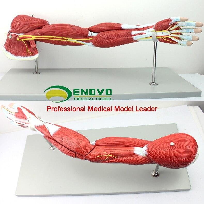 Modelo De Estructura Muscular Del Sistema De Movimiento Del Cuerpo Humano