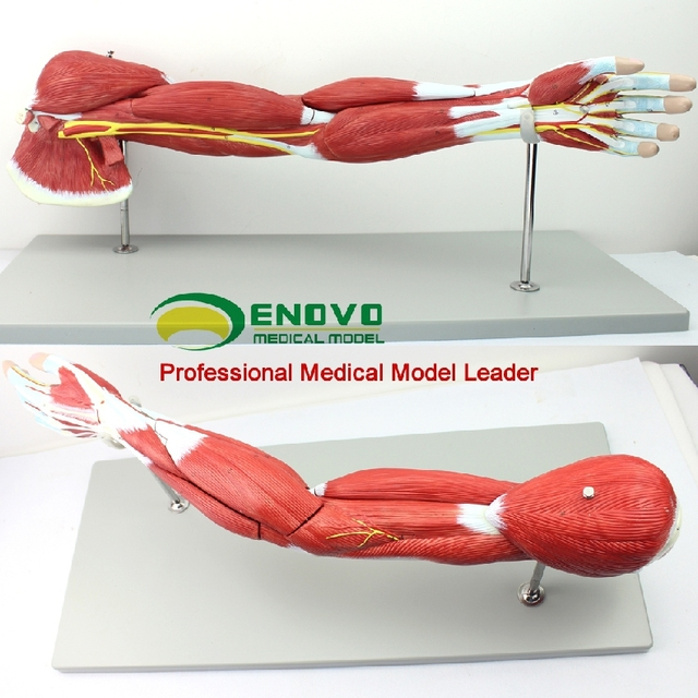 Upper limb muscle anatomy model arm muscle human body motion system ...
