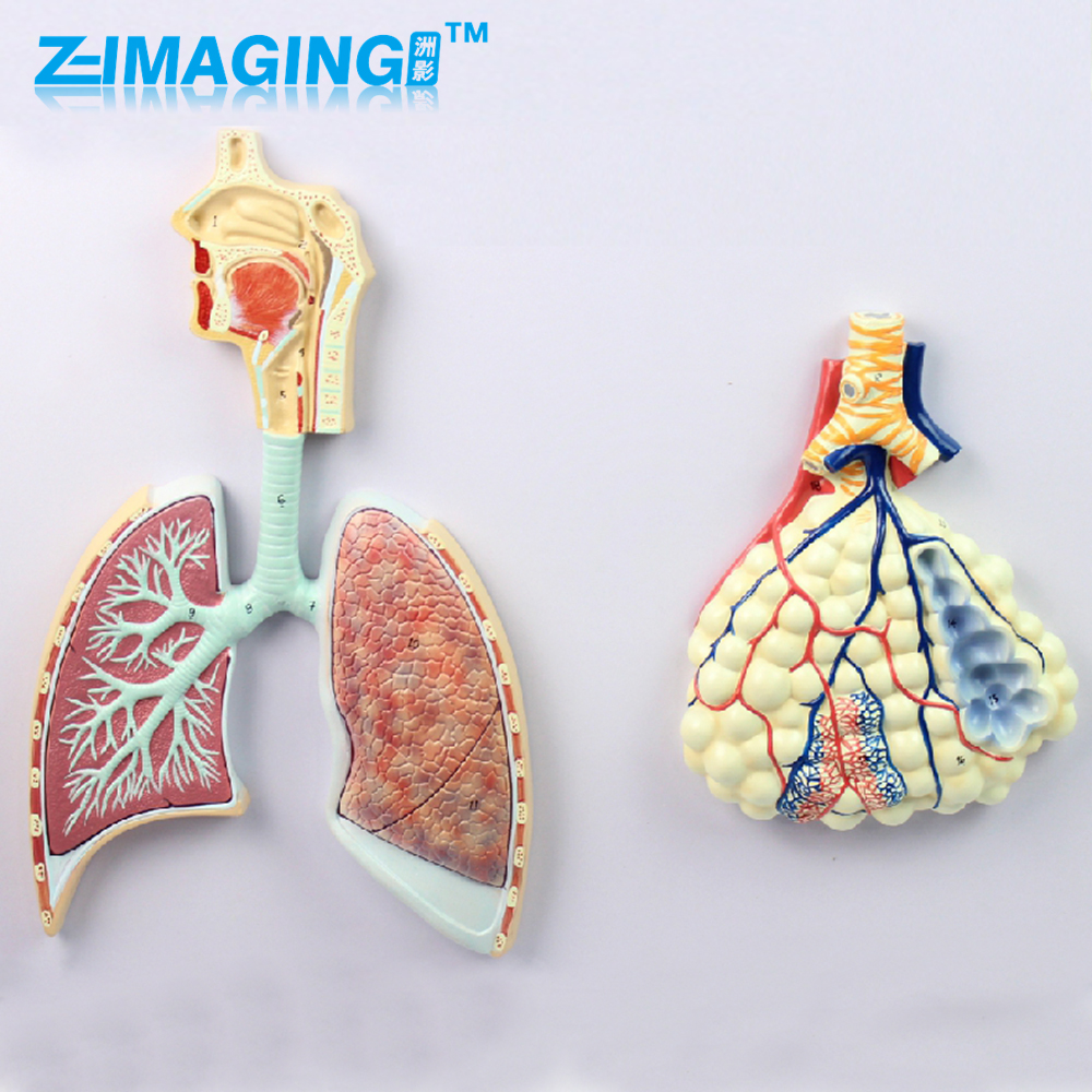 Human anatomy model of the human body lung segment nasal cavity bronchopulmonary model купить