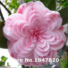 GGG 50 pieces/bag,Camellia seeds, Camellia flowers seeds 24kinds color for chose Free Shipping