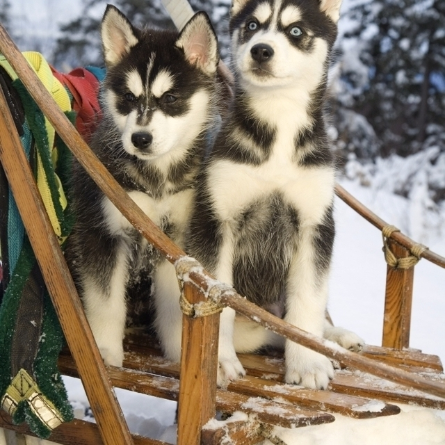 Two Siberian Husky Puppies Sitting In Dog Sled In Snow Alaska Poster