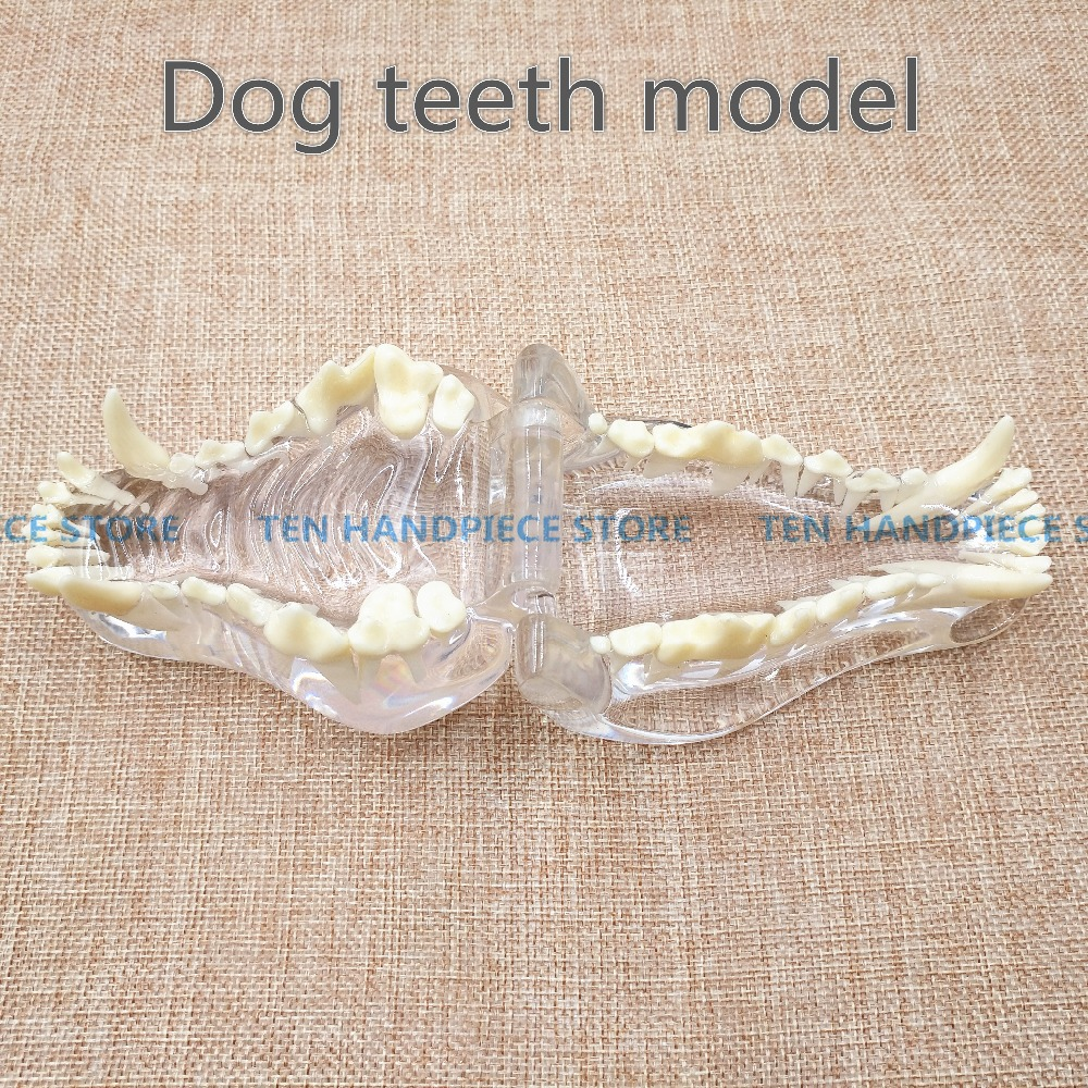 2018 good quality Dog tooth jaw model Veterinary Teaching Dog tooth transparent professional model dental model of sf teaching model teaching model tooth model 32 screws fixed jaw frame