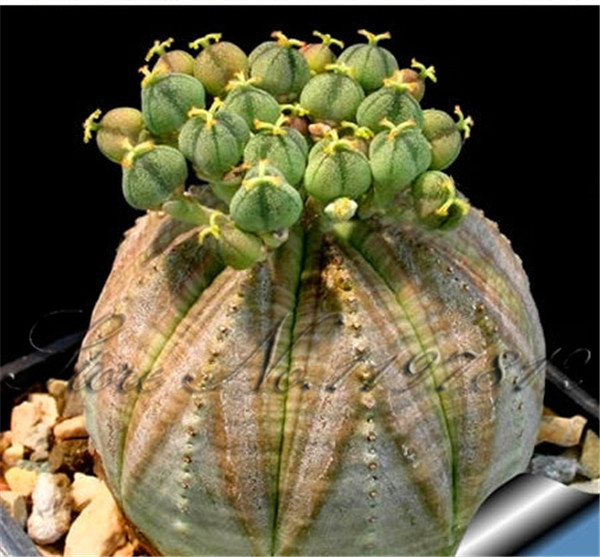 Buy 100 Pcs Bag Rare Cactus Seeds Diy