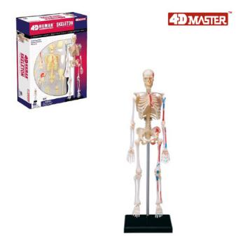 4D skeleton model 46 part human anatomy model, new 3D skeleton assembly model.