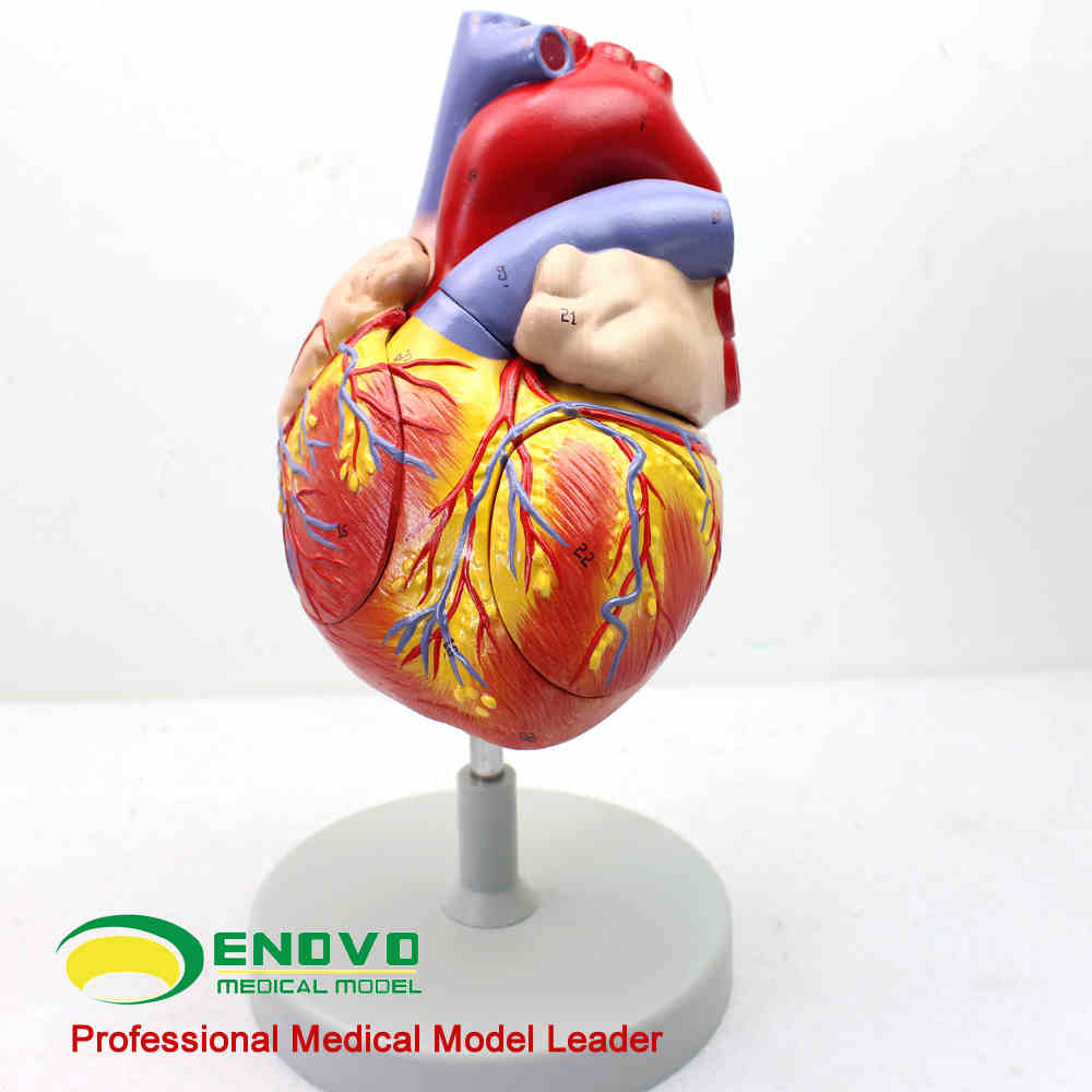 Heart anatomy model heart model heart medicine internal medicine ...