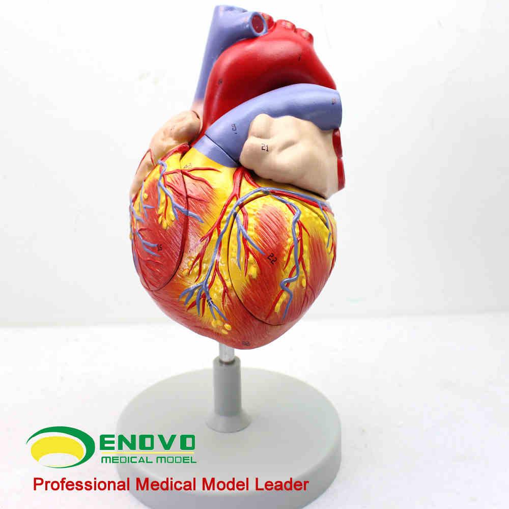 Gemütlich Modell Herzanatomie Bilder - Anatomie Und Physiologie ...