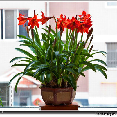 Red Hippeastrum Bulbs Flowers Seeds (500 Pieces)