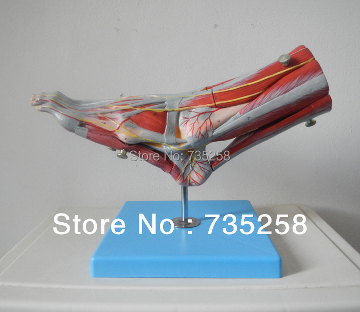 Muscles of Foot with Main Vessels and Nerves Model economic half head with vessels model anatomical head model with brain nerves vascular muscles and vessels