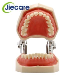 Image 3 - Abnehmbare Dental Modell Dental Zahn Anordnung Praxis Modell Mit 28 stücke Dental Granulat und Schraube Lehre Simulation Modell