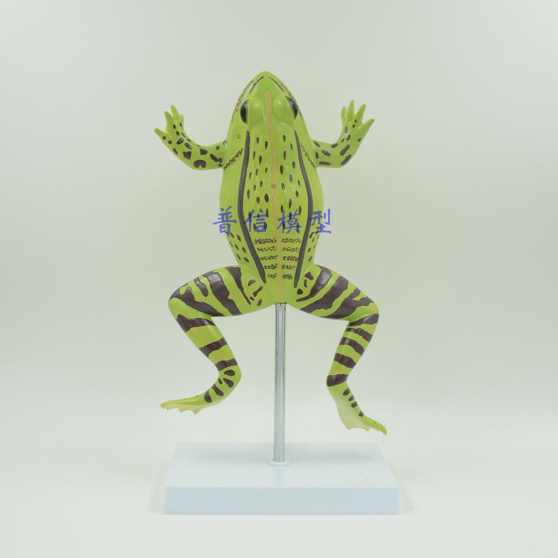 Rana disección modelo zoológico animal modelo anatómico anatomía del ...