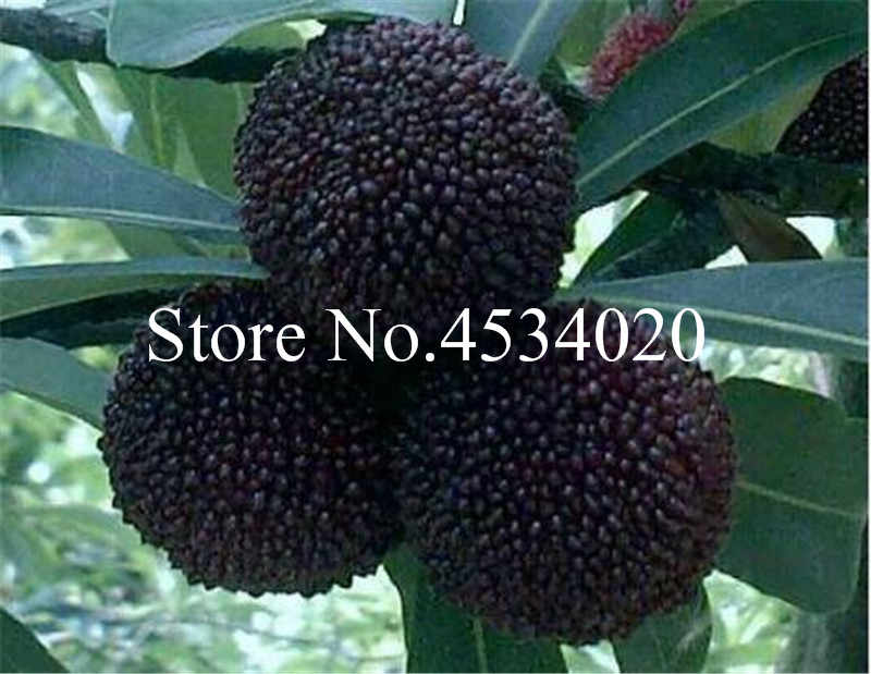 5 pce Myrica Rubra, סיני שחור Bayberry בונסאי, myrica rubra עסיסי עסיסי פירות צמח Waxberry עץ בונסאי עבור בית גן