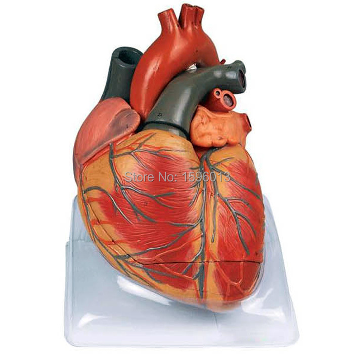 Enlarged Adult Heart Model,48 positions Displayed, Heart Anatomical ...