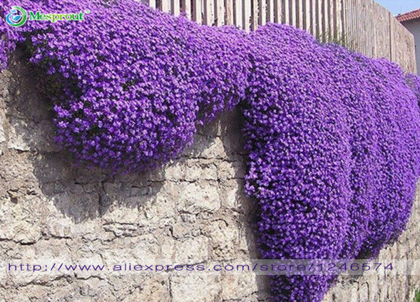 Flower seeds 100 Aubrieta Seeds – Cascade Purple FLOWER SEEDS, Superb perennial ground cover , flower seeds for home garden