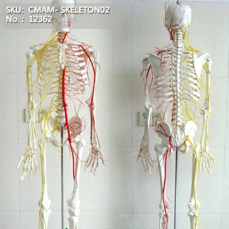CMAM/12362 170 skeleton, nerve, Medical Full Skeleton Anatomical Human ModelCMAM/12362 170 skeleton, nerve, Medical Full Skeleton Anatomical Human Model