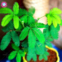 100pcs mimosa seeds balcony bonsai tree flower pudica funny Sensible Foliage Plants Perennial for home garden predict earthquake