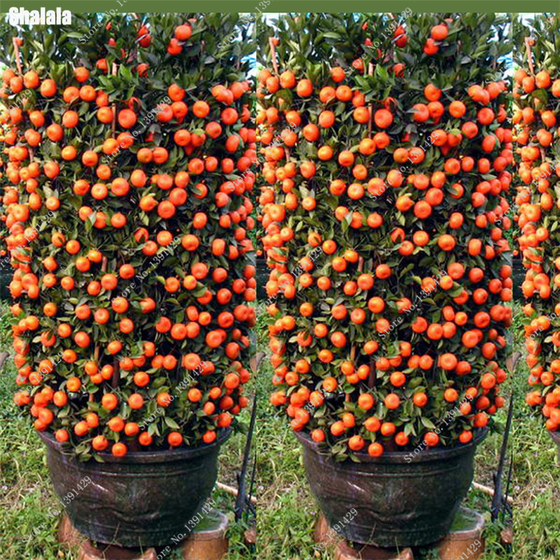 2017 New 20 pcs Bonsai Orange Seeds NO-GMO Mini Kumquat Tree Seeds Delicious Fruit Succulent Plants Easy Grow Garden Greenhouse