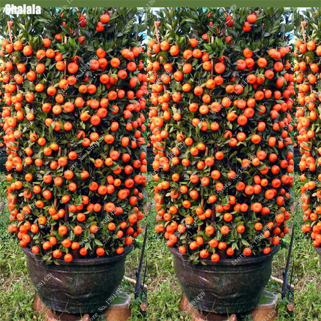 2017 nouveau 20 pcs bonsa orange graines no ogm mini - Mini arbre fruitier ...