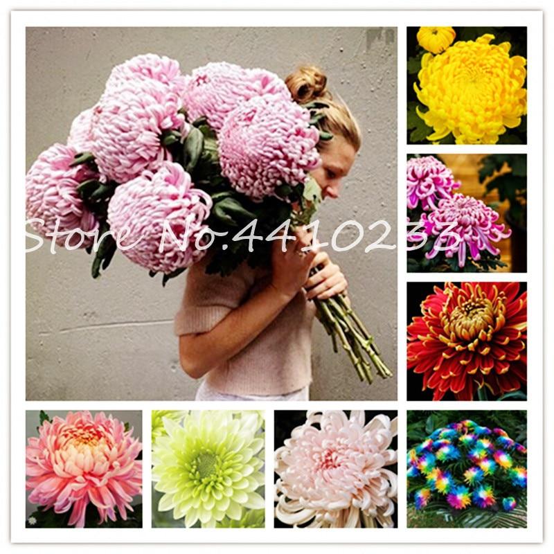 Chinese Mum Bonsais 100 Pcs Rainbow Chrysanthemum Bonsai Rare Color Gaint Perennial Flower New Diy Home Garden Flower Plants