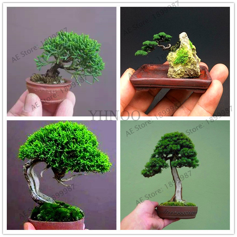 Bonsai Tree Flores Indoor Woody Plants Big Promotion!50 Pcs/bag Miniature Pine Garden Pine Tree Perennial Plant For Miniature Elegant And Sturdy Package