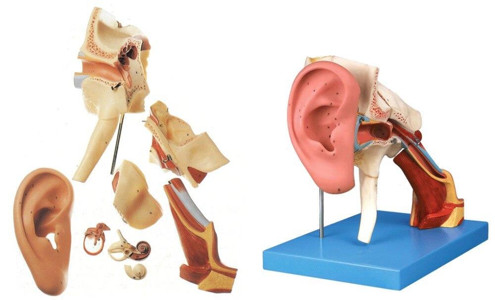 KeyWord: ear; ENT; temporal bone; external tympanic membrane; ENT ...