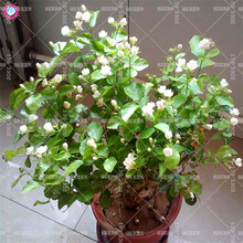 20pcs cape jasmine seeds Indoor bonsai flower seeds Gardenia jasminoides fragrant Exotic shrub open pollinate rare beautiful