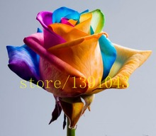200 rare rainbow rose seeds,bonsai rose flower seeds high Germination rate DIY for home & garden planting(China)