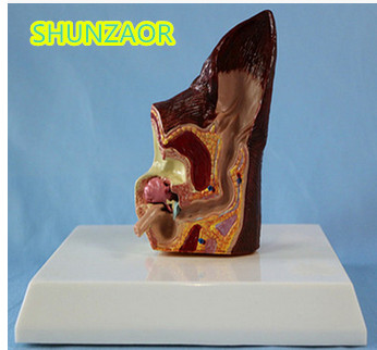 SHUNZAOR Dog ear lesion anatomical model animal model animal Veterinary Science medical Teaching aids medical research model ...