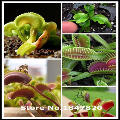 `300pcs Dionaea Seeds Derlook flowers bonsai Potted Plant dionaea saplings seeds flower seeds Muscipula Giant Clip Venus Flytrap