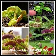 `300pcs Dionaea Seeds Derlook flowers bonsai Potted Plant dionaea saplings seeds flower seeds Muscipula Giant Clip Venus Flytrap