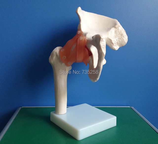 Aliexpress Buy Life Size Hip Jointhip Ligament Model The