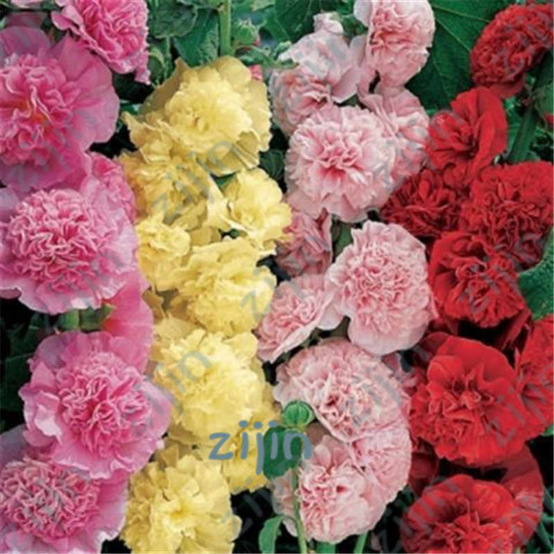 Multi Color Hollyhock flower Bonsai Alcea Rosea Garden Greenhouse Plants, Diy Gardening Rare Flower plant Purifying Air 200 Pcs