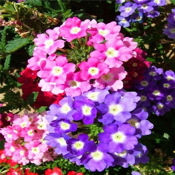 colgante de flor de la verbena semillas de flores en macetas de interior plantas semillas estaciones