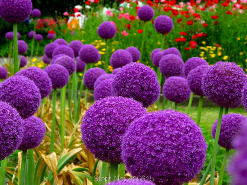 Aliexpress Flowering Onion Seeds Allium Gladiator Exotic Flowers Purple Giant Giganteum Pompon Garden Bonsai From Reliable