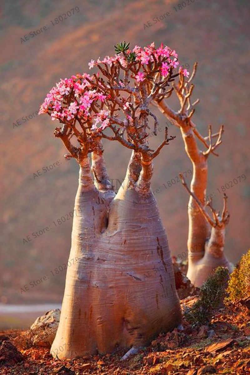 หายากผสมสี Desert Rose Fire สีแดงดอกไม้หัวใจ, 5 ชิ้น/แพ็ค, bonsai พืชสำหรับ garden.