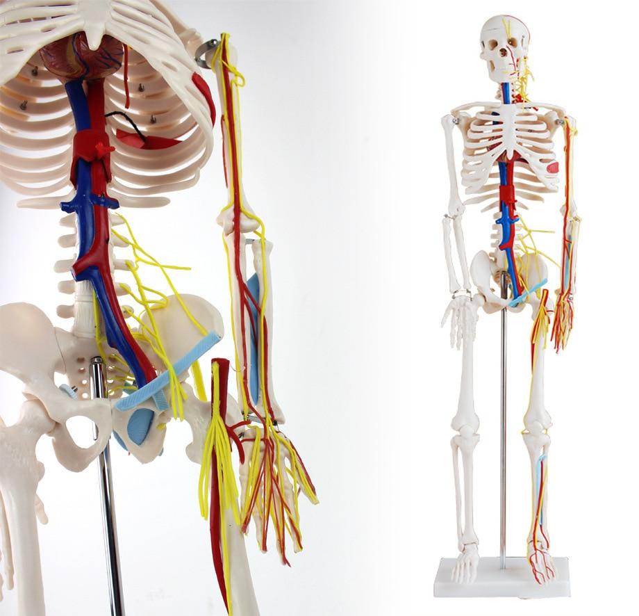 ENOVO Ιατρικό Ανθρώπινο Μοντέλο 85cm - Σχολικά και μαθησιακά υλικά - Φωτογραφία 2