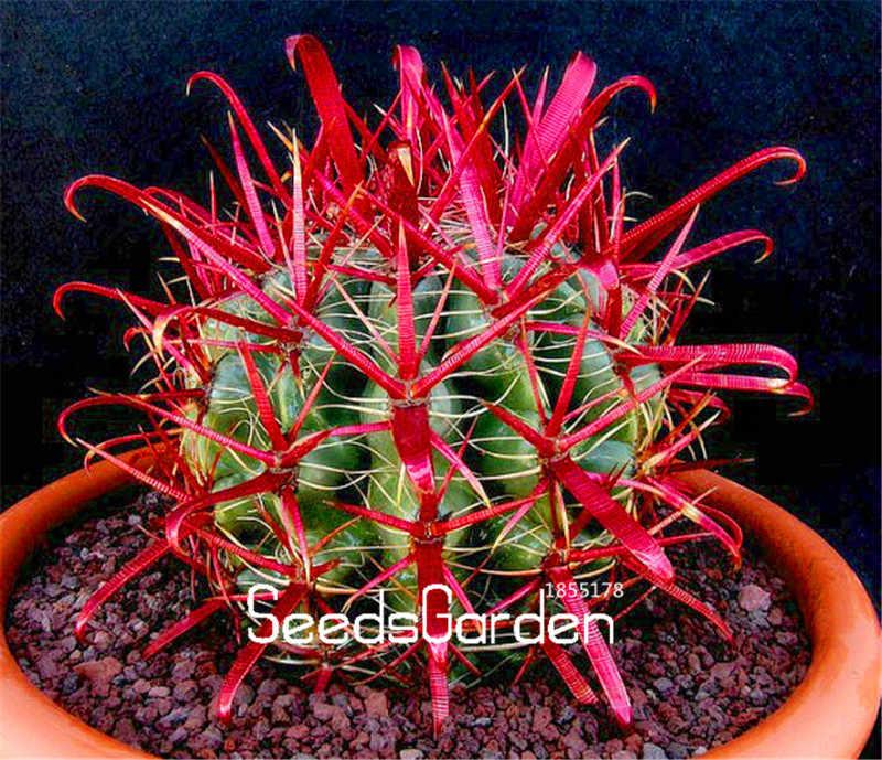 100 قطع حزمة تعزيز! الأحمر برميل الصبار ، سهلة تنمو ، بوعاء الزهور للمنزل حديقة زهرة بونساي