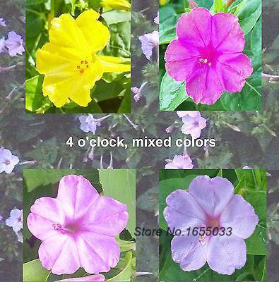 Bonsai Seeds 50 Mixed Colors 4 Oclock Flower Seedsperennials