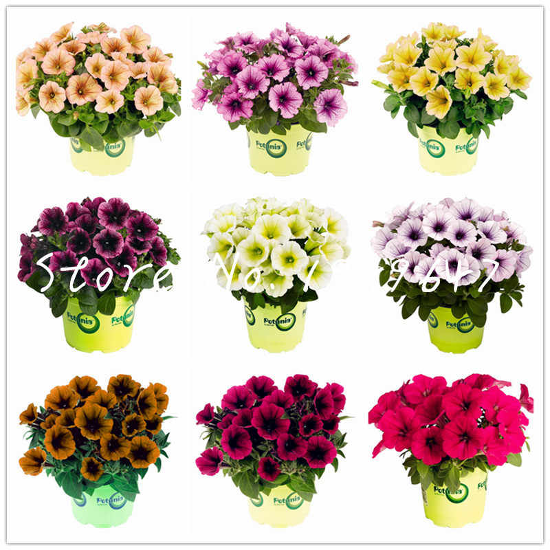 Hot sale! 100 Pcs Bonsai Petunia Plantas Melissa Original Flower Flores Perennial Flowers For Home Garden Bonsai Pot Planting