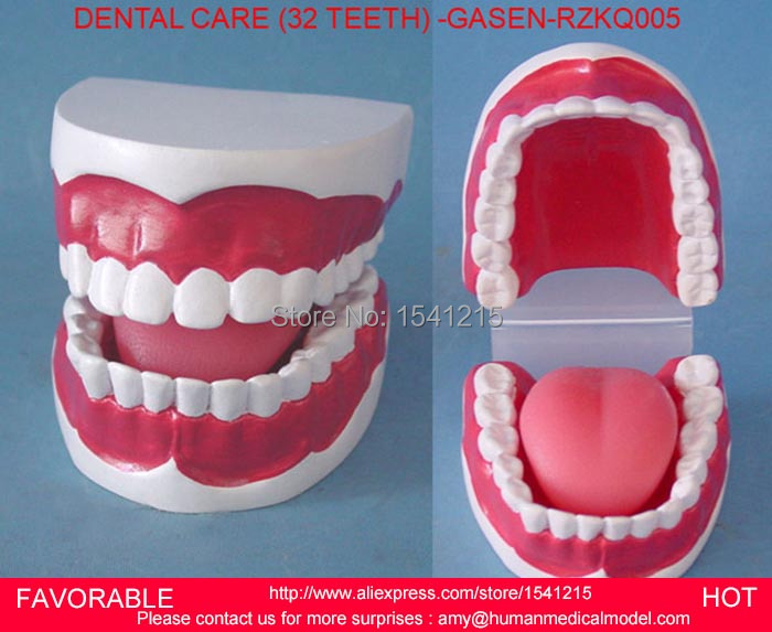 MAGNIFY DENTAL TEETH MODEL ORAL CARE TOOTHBRUSHING GUIDANCE,ORAL DENTAL TEACHING MODELSMALL DENTAL CARE 32 DENTAL -GASEN-RZKQ005 dental pathology model anatomical model teeth model dental caries periodontal disease demonstration model gasen den050