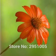 20pcs Mexican Sunflower Seeds