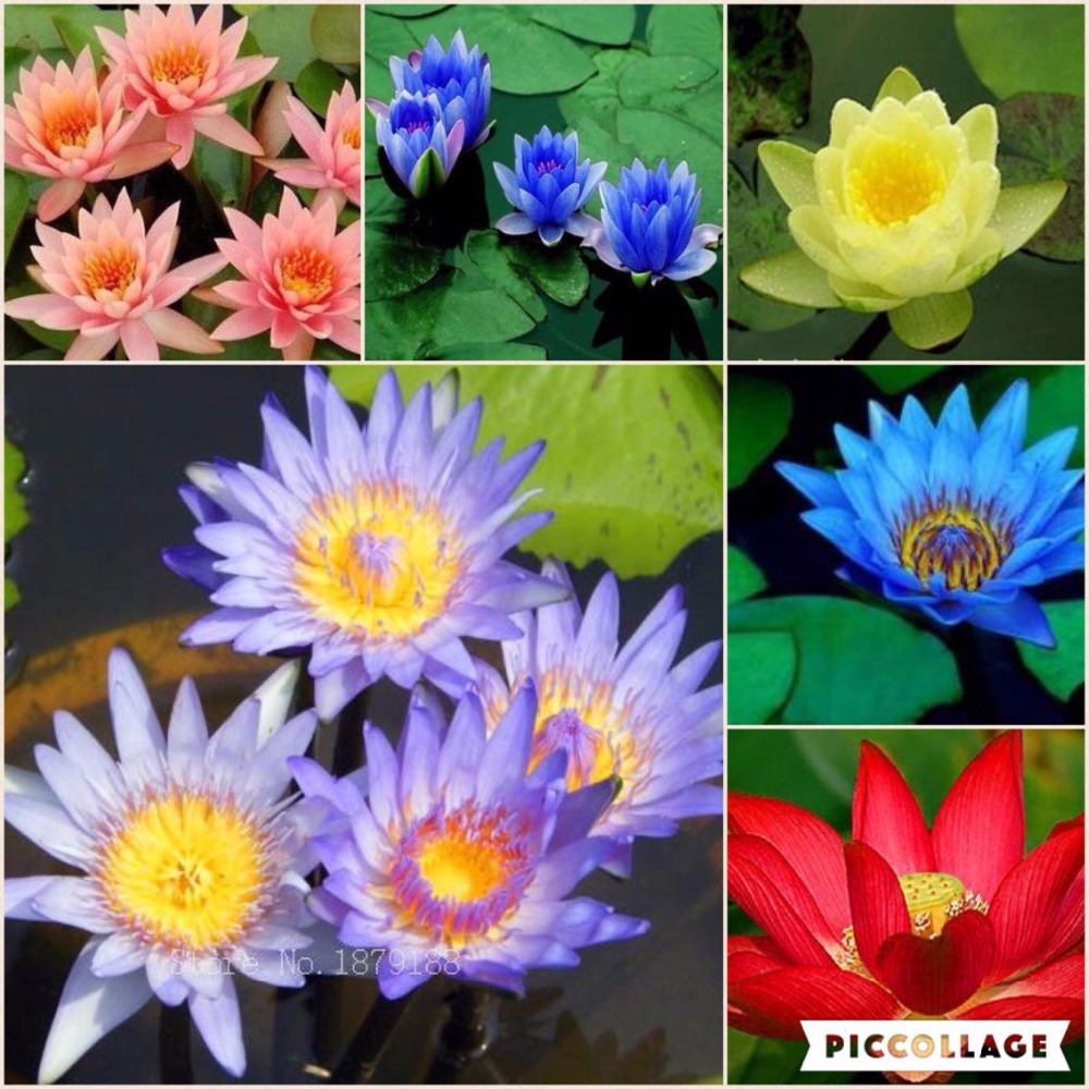 Bonsai Diverse colors Asian water lily pad flower pond Lotus water ...